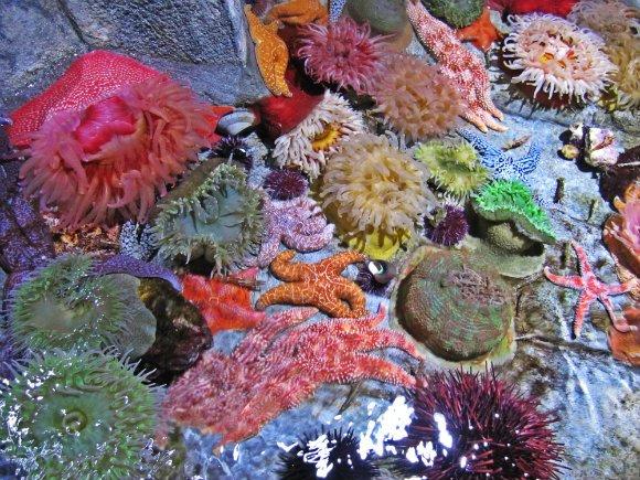 Anemones and starfish, Aquarium of the Pacific, Long Beach, California