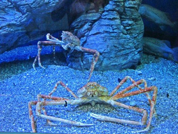 King crab, Aquarium of the Pacific, Long Beach, California