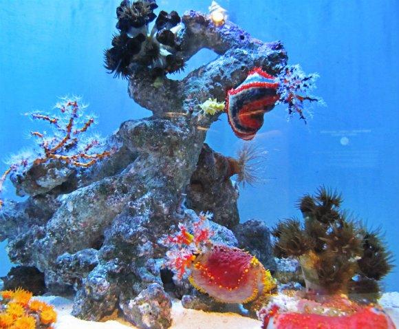 Colorful sea cucumbers, Aquarium of the Pacific, Long Beach, California