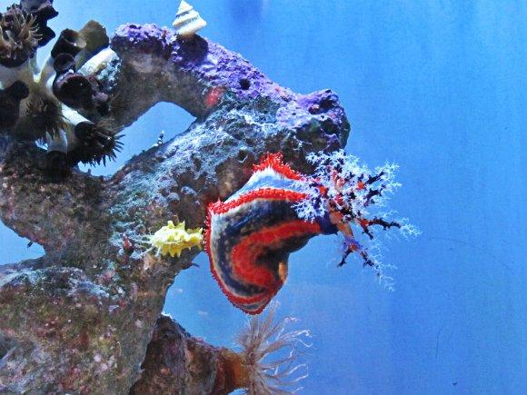 Blue, red and white sea cucumber, Aquarium of the Pacific, Long Beach, California