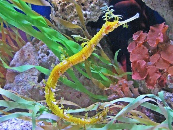 Sea horse, Aquarium of the Pacific, Long Beach, California