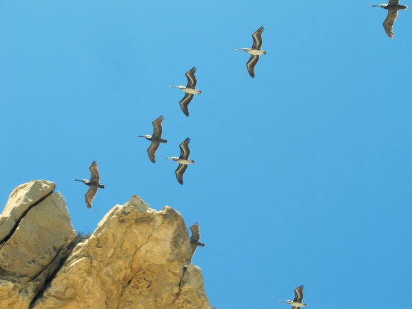 Pelicans, Little Corona del Mar, Newport Beach, California