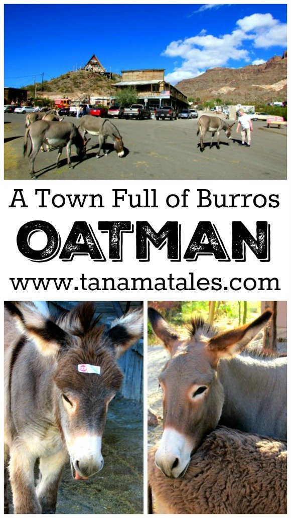 Oatman, a town on Route 66, is famous for its mines, gunfights and burros that roam freely around the streets.  The burros can be fed and pet (with caution).