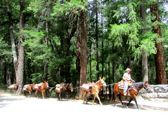 Packing Mules near Stoneman Meadows, Yosemite National Park, California