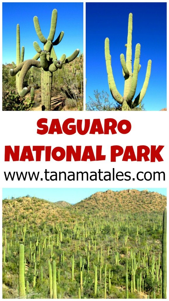 This National Park protects the Saguaro, is tree-like, cactus species that can grow up to 70 feet. It is amazing how big they can get!