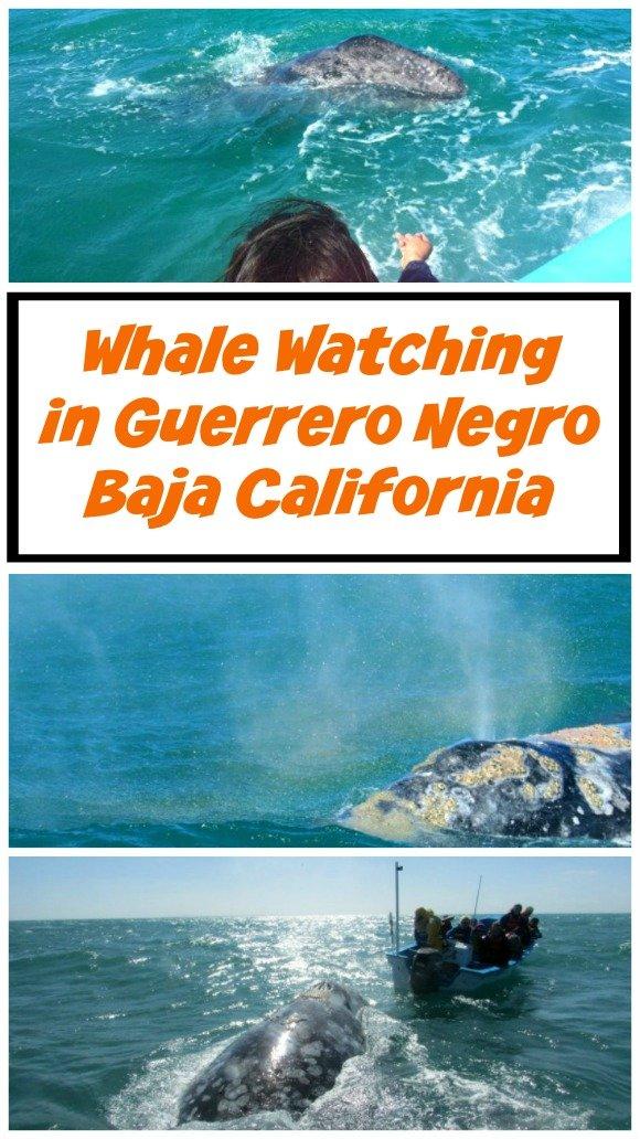 Whale Watching In Ojo de Liebre Lagoon, Guerrero Negro, Baja California Sur, Mexico