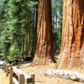 General Sherman, Sequoia National Park, Sierra Nevada, California, Hiking Trail
