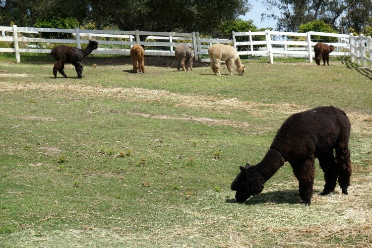 Canzelle Alpacas, Things to do in Carpinteria ca