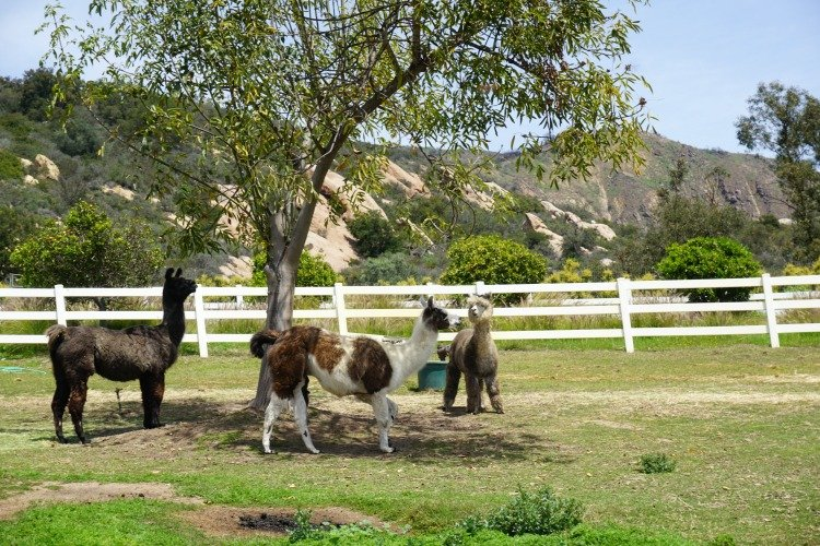 Canzelle Alpacas, Things to do in Carpinteria ca