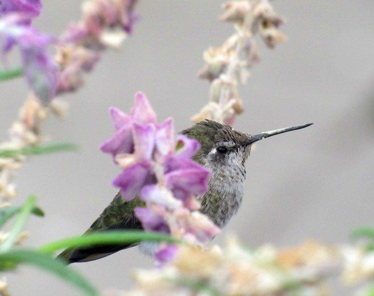 Hummingbird at Madrona Marsh Preserve, Torrance, California