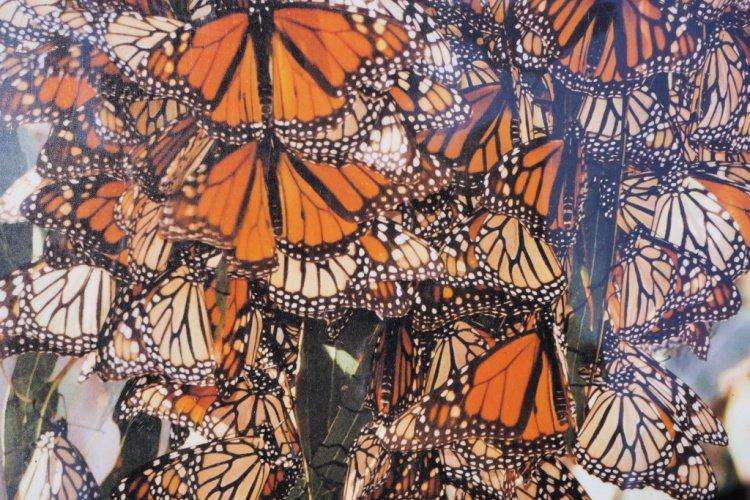 Pismo State Beach Monarch Butterfly grove, Pismo Beach, California