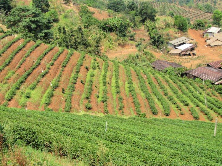 Tea plantations at Doi Mae Salong, Thailand