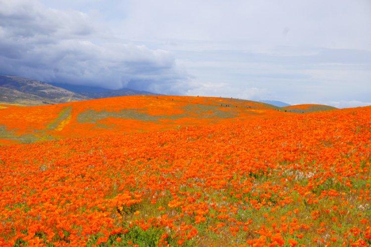 Antelope Valley Poppy Reserve, Lancaster, Things to do in Lancaster, California