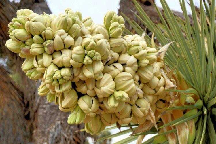 Joshua Tree Flowers, Prime Desert Woodland Reserve, Lancaster, Things to do in Lancaster, California