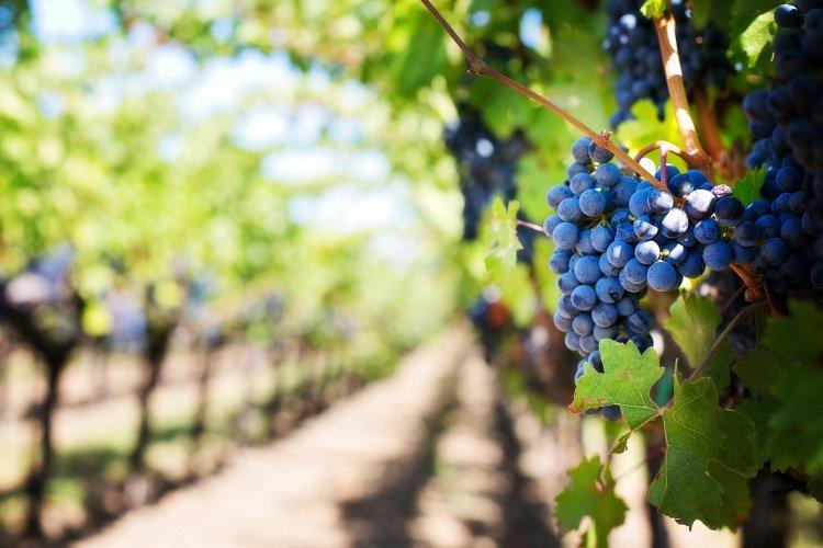 Red Grapes at Napa Valley, Caliofrnia