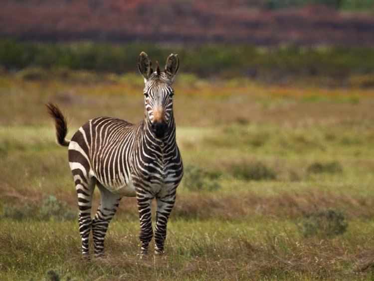Garden Route Road Trip (South Africa) Itinerary, Cape Mountain Zebra