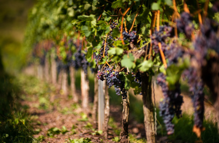 VIneyards, Fall in Southern California